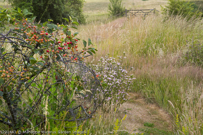 Crab apple and mallow in meadow, path leading to five-bar gate