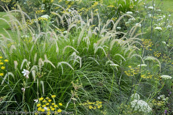 Pennisetum 'Fairy Tails', Foeniculum vulgare 'Purpureum', Ammi majus
