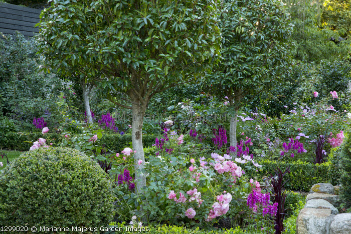 Standard trained Prunus lusitanica lollipops underplanted with roses and cosmos in box-edged borders