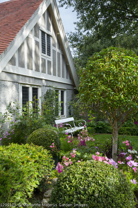 Standard trained Prunus lusitanica lollipop underplanted with roses and cosmos, white painted bench by house, Taxus baccata, Buxus sempervirens