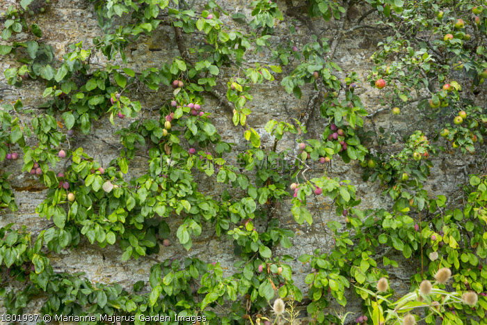 Victoria plums trained on wall