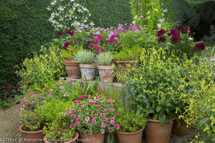 Display of pelargoniums, nicotiana, dahlia and zinnia in terracotta pots