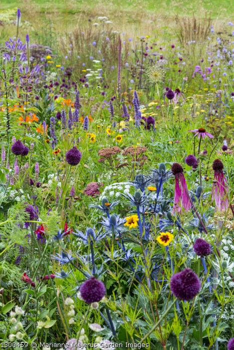 Perennial meadow, Ammi majus, Allium sphaerocephalon, Eryngium × zabelii 'Big Blue', Veronicastrum virginicum 'Fascination'
