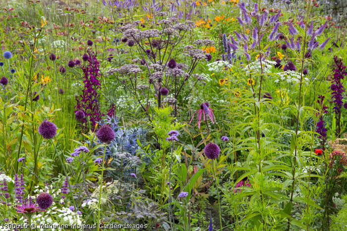 Perennial meadow, Ammi majus, Allium sphaerocephalon, Eryngium × zabelii 'Big Blue', Veronicastrum virginicum 'Fascination', Angelica 'Ebony', coreopsis