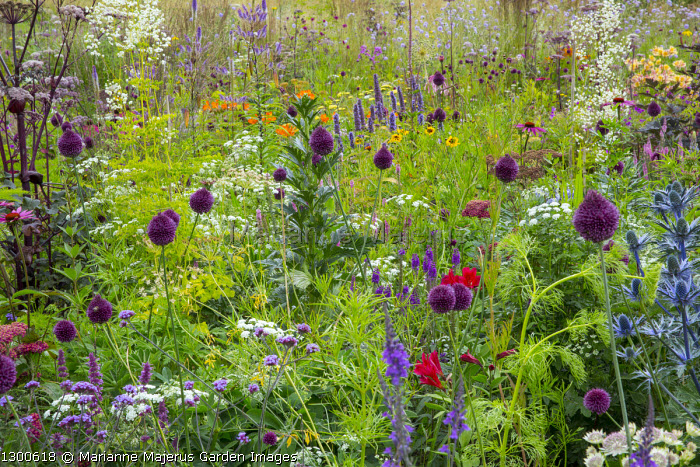 Perennial meadow, Ammi majus, Allium sphaerocephalon, agastache, Angelica 'Ebony', coreopsis, Thalictrum 'Splendide White'