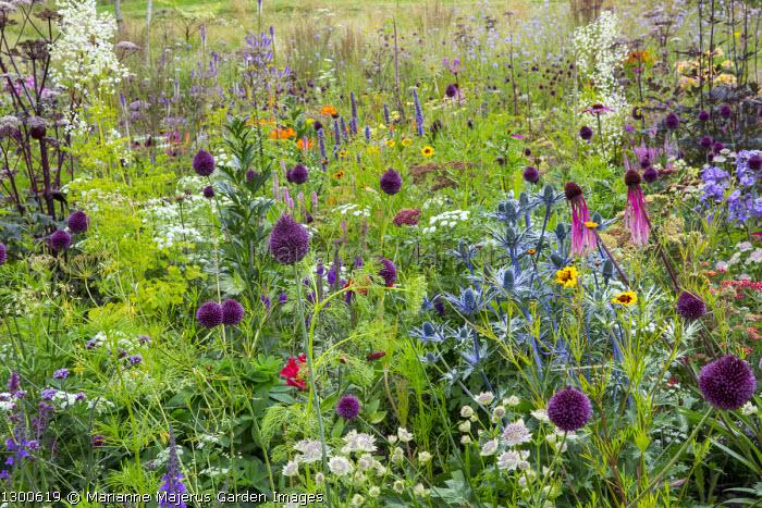 Perennial meadow, Ammi majus, Allium sphaerocephalon, Eryngium × zabelii 'Big Blue', agastache, Angelica 'Ebony', coreopsis, echinacea