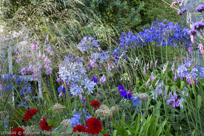 Agapanthus 'Eggesford Sky', Dahlia 'Murdoch', Dierama pulcherrimum, Molinia caerulea ssp. arundinacea 'Transparent'