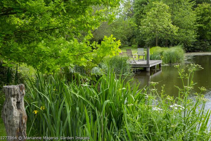 Iris pseudacorus by lake, wooden chairs on jetty, Gunnera manicata, oak tree