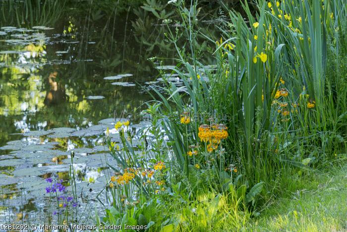Iris pseudacorus and primula at pond edge