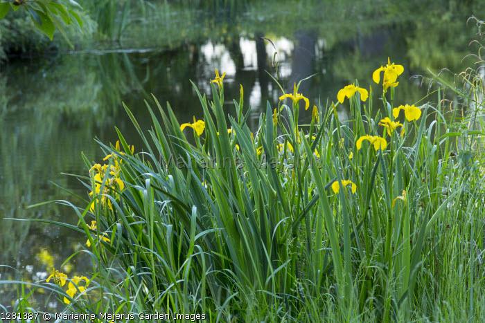 Iris pseudacorus by pond