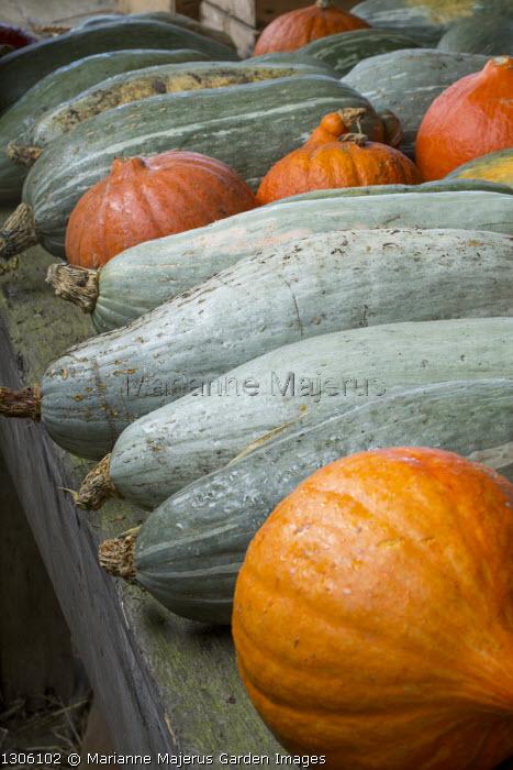 Harvested pumpkins and squash on table, Cucurbita maxima 'Blue Banana'
