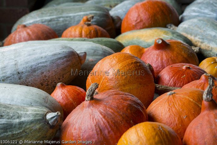 Harvested pumpkins and squash on table, Cucurbita maxima 'Blue Banana'