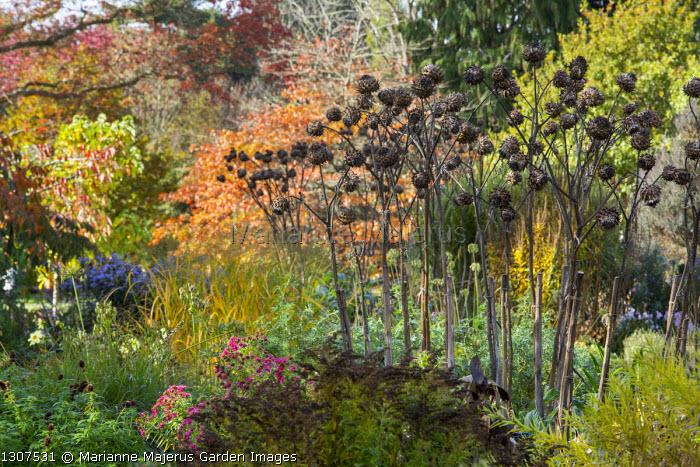 Cynara cardunculus seedheads, molinia, prunus, symphyotrichum syn. aster