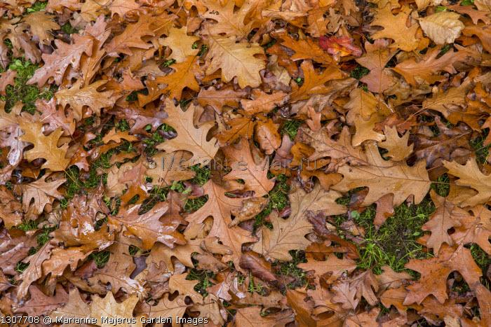 Fallen Red oak leaves on lawn, Quercus rubra