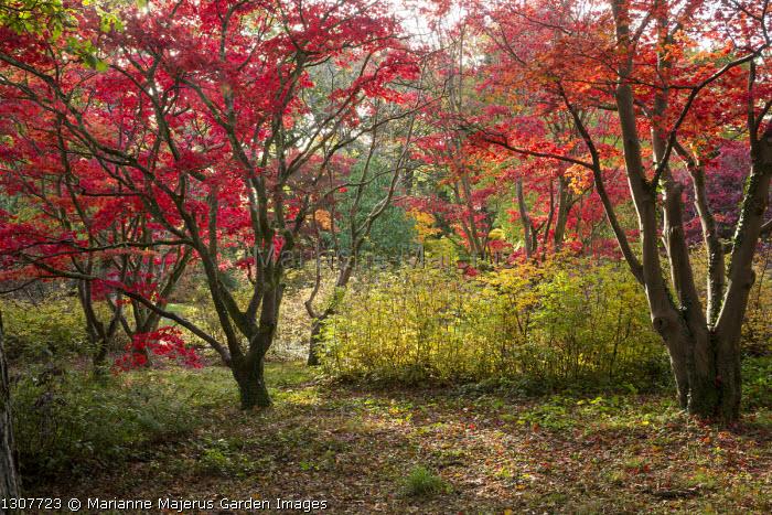 Acer palmatum woodland