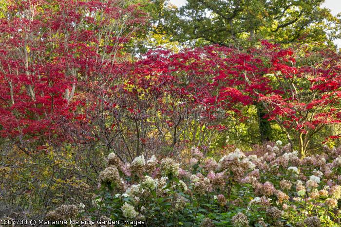 Acer palmatum woodland, Hydrangea paniculata 'Phantom'