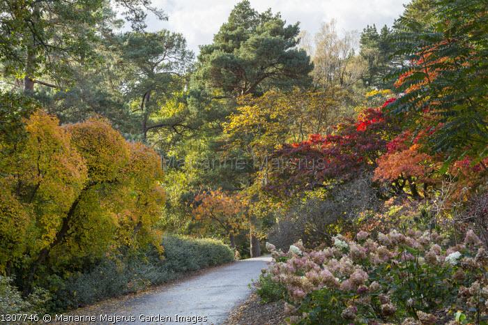 Path through autumn border, acers, hydrangeas, Cotinus obovatus