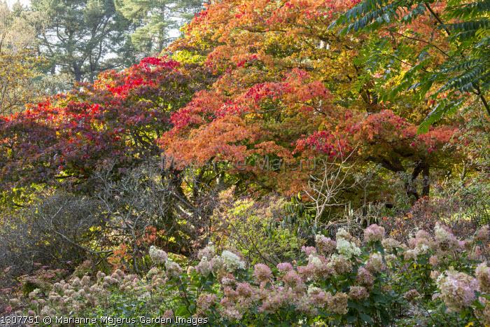 Hydrangea paniculata 'Phantom', Acer palmatum