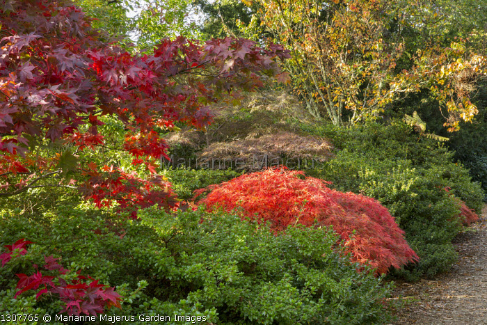Acers in woodland, Acer palmatum var. dissectum Dissectum Atropurpureum Group