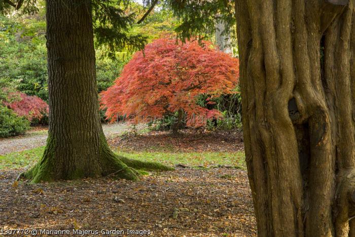 View through trees to Acer palmatum var. dissectum