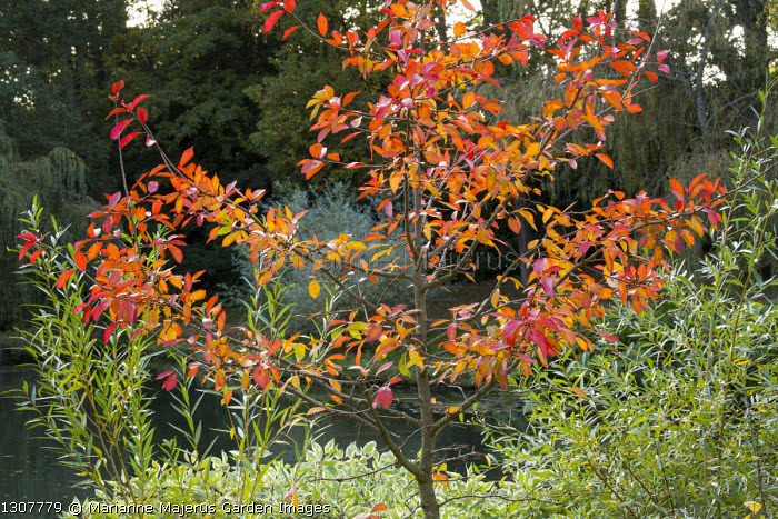 Nyssa sylvatica 'Jermyns Flame' and salix by pond