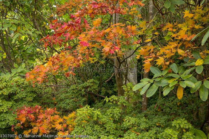 Acer palmatum and azalea in woodland