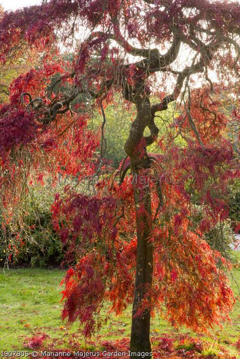 Acer palmatum var. dissectum with twisted stem