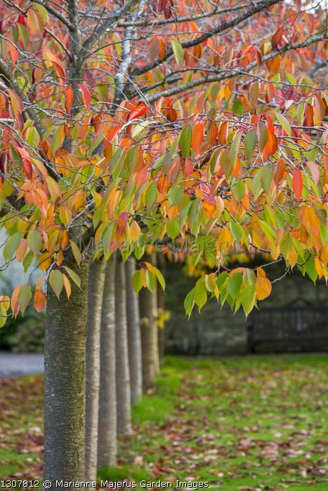 Row of Prunus 'Shirofugen' in autumn
