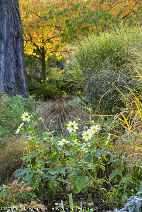 Dahlia 'Clair de Lune', molinia, Miscanthus sinensis 'Zebrinus'