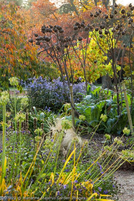 Agapanthus and Cynara cardunculus seedheads, aster, prunus