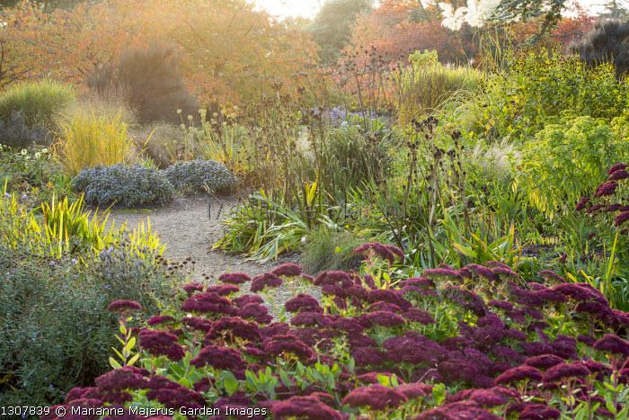 Hylotelephium (Herbstfreude Group) 'Herbstfreude' syn. sedum, molinia, prunus, Eryngium agavifolium seedheads, Salvia officinalis
