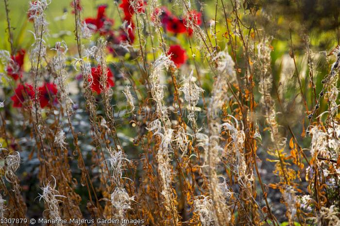 Seedheads of Rosebay willowherb, dahlia