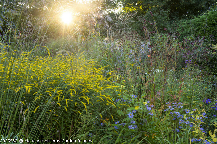 Solidago rugosa 'Fireworks', Molinia caerulea subsp. arundinacea 'Transparent', aster, sanguisorba