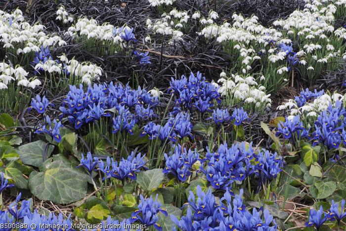 Iris reticulata 'Harmony' with Galanthus nivalis 'Flore Pleno' and Ophiopogon planiscapus 'Nigrescens' in winter garden