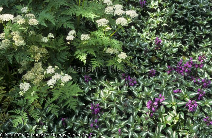 Myrrhis odorata, Lamium maculatum