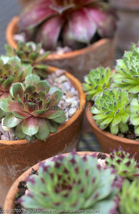 Containers with Sempervivum 'Pseudo-ornatum', 'Red Mountain', 'Mount Hood' and Sempervivum tectorum