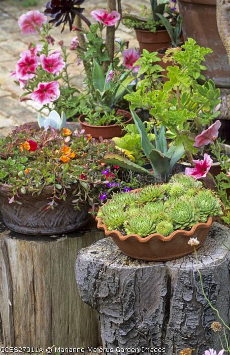 Containers on tree stumps with sempervivum, petunia and pelargonium
