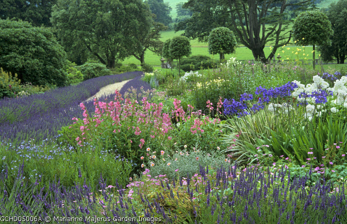 Border with penstemons, agapanthus edged with Lavandula x intermedia 'Grosso', clipped Quercus ilex
