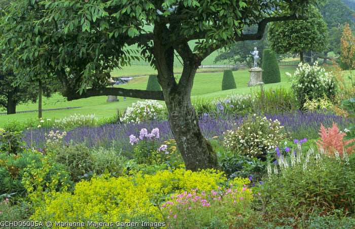 Perennial border under tree, Lavandula x intermedia 'Grosso', Alchemilla mollis