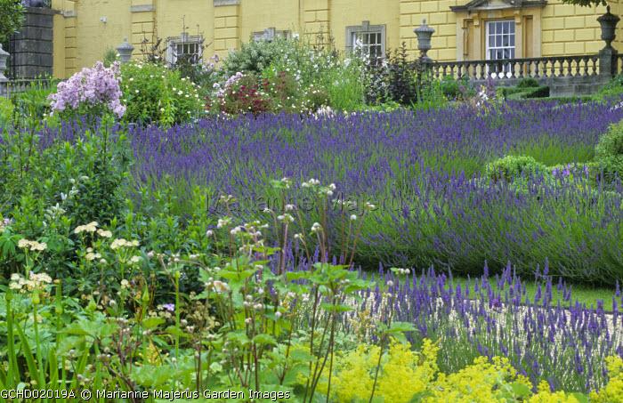 Drift of lavender