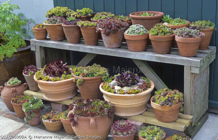 Display of sempervivums in containers on wooden staging, collection