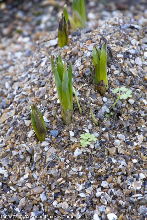 Eremurus robustus, gravel mulch
