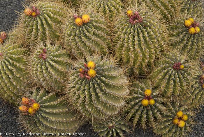 Sonora Barrel, Ferocactus echidne