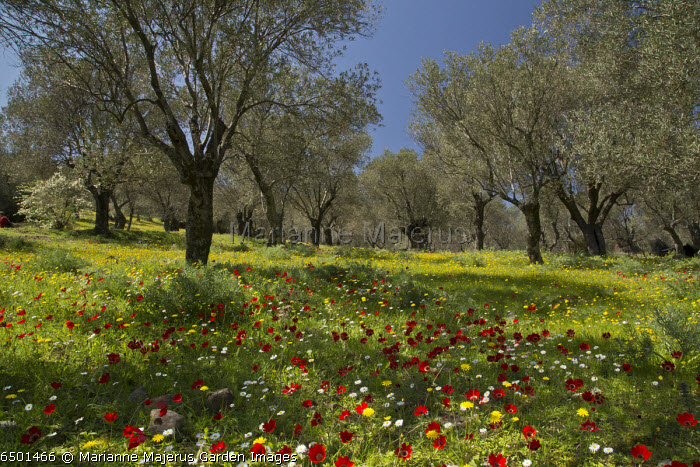 Spring flowers, mostly peacock anemones, in old olive grove, Lesvos, Greece