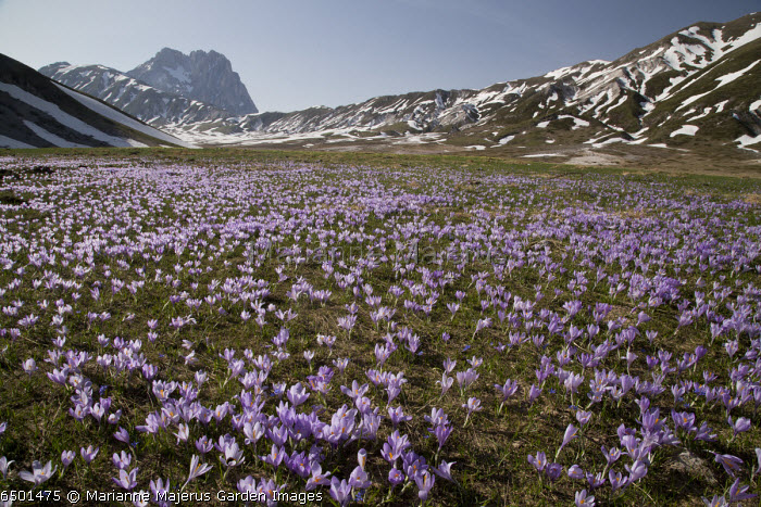 Crocus vernus growing in masses in the Campo imperatore at about 1800m, Gran Sasso and Monti della Laga National Park