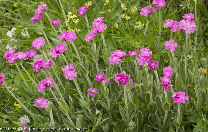 Lychnis flos-jovis, in flower in mountain hay meadow, French Alps