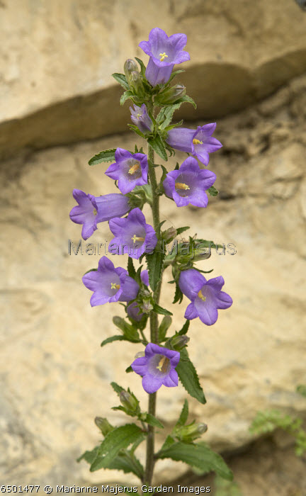 Campanula medium in the Vercors mountains, France