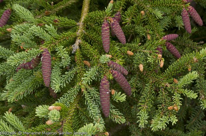Female cones of White Spruce, Picea glauca