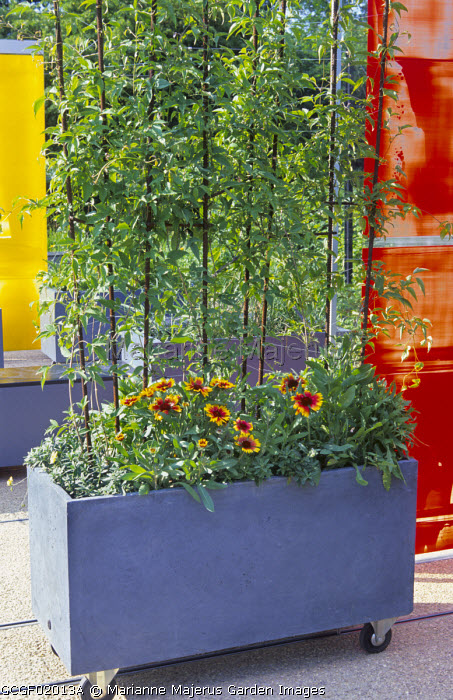 Gaillardia 'Kobold' in planter on castor wheels, moveable screens