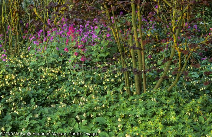 Woodland area, Symphytum grandiflorum, Lunaria annua, Corylus maxima 'Purpurea'